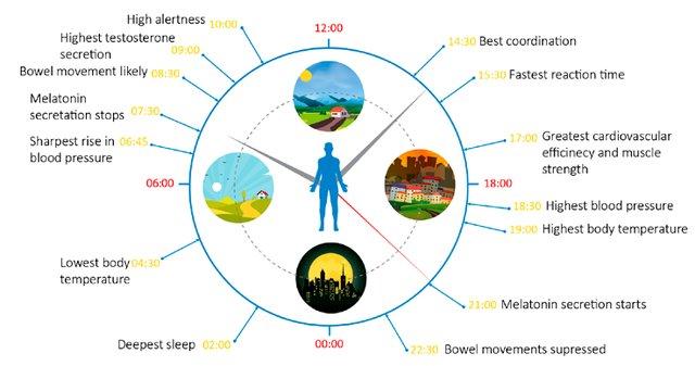 Human-circadian-rhythm